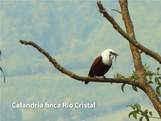 Calandria_RioCristal1